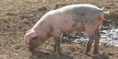 cerdos (05)