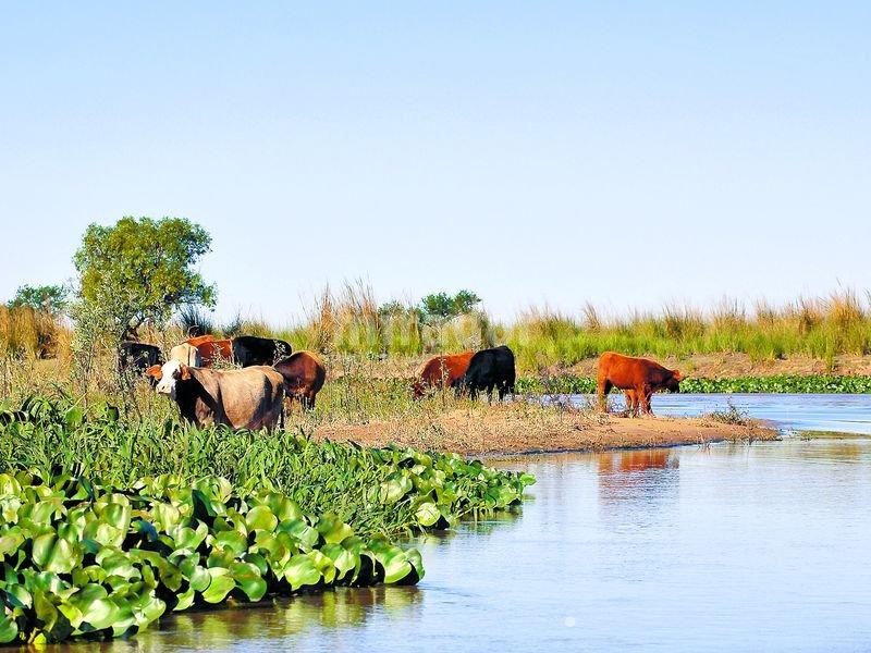 vacas zona en islas