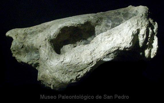 Cráneo Toxodon