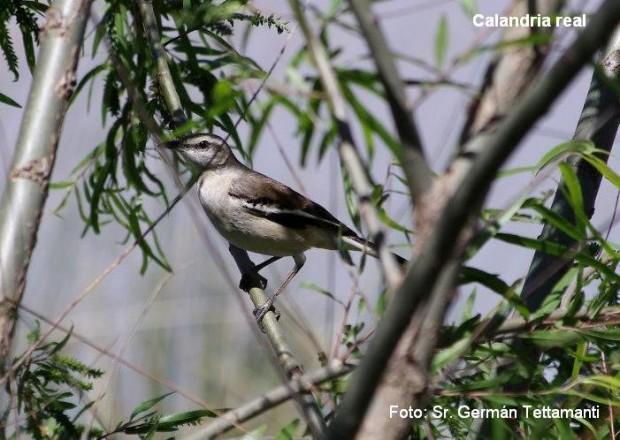 Calandria Real (Mimus triurus)