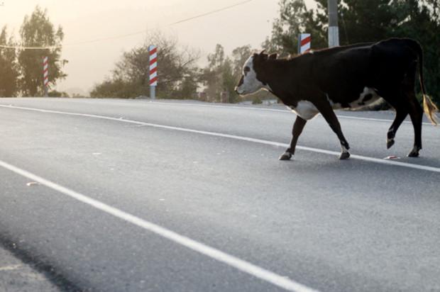vaca cruzando ruta